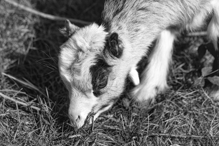 Photo pour White goat young one eats crops browses grazes fresh grass sepia effect on natural background - image libre de droit