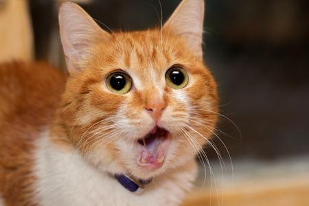 Photo pour Red cat dropping his jaw suprisingly - image libre de droit