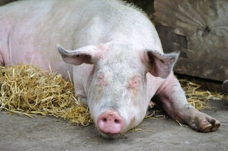 Shot of a happy pig relaxing on hay in a farm