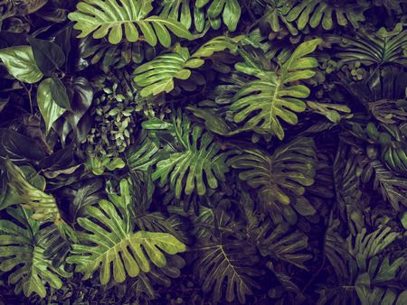 Photo for Green Monstera leaves texture for background - top view - in dark tone. - Royalty Free Image