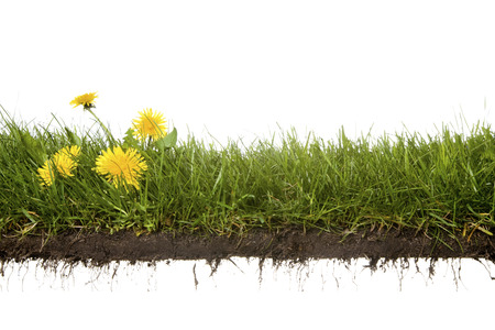 Photo pour cross-cut of grass with dandelion isolated on white background - image libre de droit