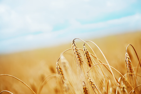 Foto de wheat field  in Crimea, golden wheat field - Imagen libre de derechos