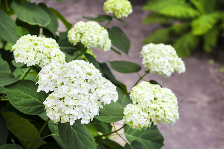 Blooming white Annabelle Hydrangea arborescens (commonly known as smooth hydrangea, wild hydrangea, or sevenbark)