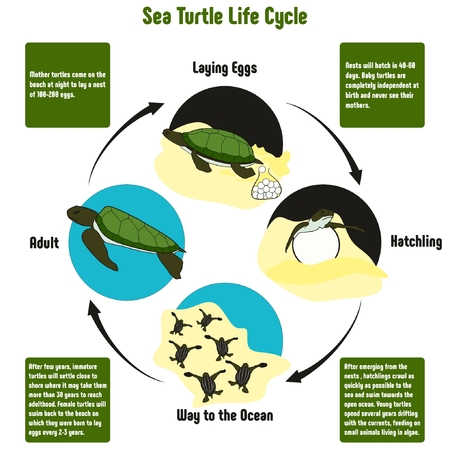 Illustration pour Sea Turtle Life Cycle Diagram with all stages including laying eggs hatchling way to the ocean and adult simple useful chart for biology science education - image libre de droit