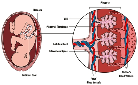 Ilustración de Human Fetus Placenta Anatomy Diagram with all part including mother blood vessels umbilical cord placental membrane for medical biology education - Imagen libre de derechos