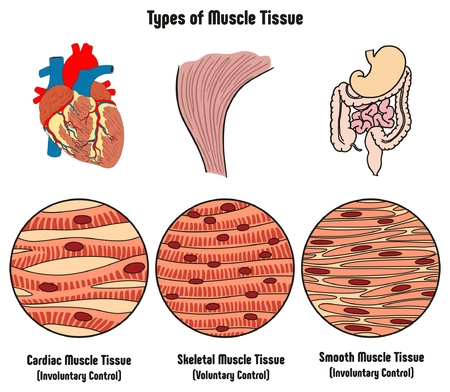 Ilustración de Types of  Muscle Tissue of Human Body Diagram including cardiac skeletal smooth with example of heart digestive system along with involuntary voluntary control for medical science education - Imagen libre de derechos