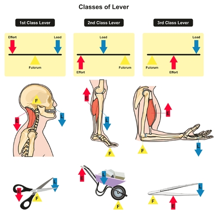 Illustration for Classes of Lever infographic diagram showing parts and types including fulcrum load and effort with examples of human body joints bones and muscles daily lives for physics science education - Royalty Free Image