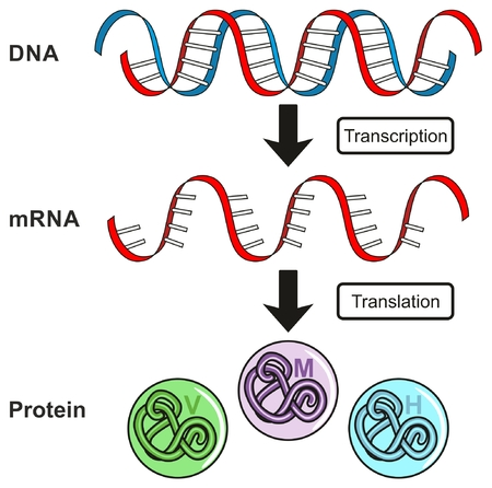 Illustration pour Central Dogma of Gene Expression infographic diagram showing the process of transcription and translation from DNA to RNA to protein and how it form for genetic science education - image libre de droit