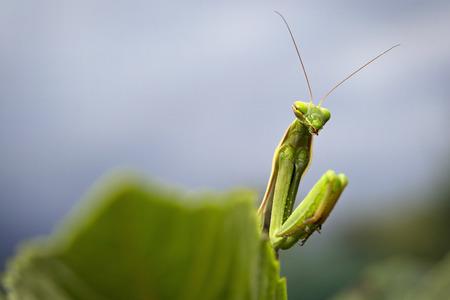 praying mantis behind a leaf macro
