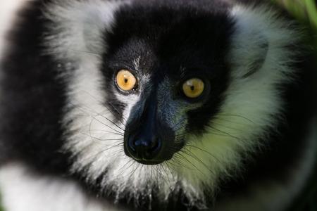 Foto de The ruffed lemurs of the genus Varecia are strepsirrhine primates and the largest extant lemurs within the family Lemuridae. - Imagen libre de derechos