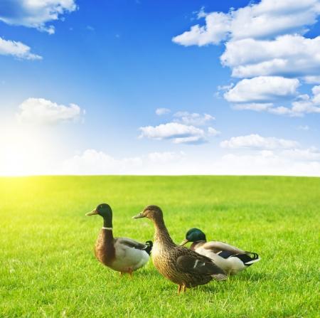 ducks on a green meadow under a cloudy sky