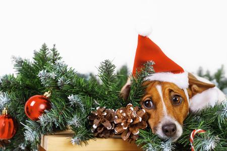 Foto de Cute dog with santa hat near Christmas tree branch. Holiday concept. - Imagen libre de derechos