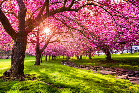 Foto de Cherry tree blossom explosion in Hurd Park, Dover, New Jersey - Imagen libre de derechos