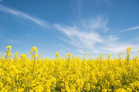 Foto de Yellow field of rapeseed flowers at summer noon - Imagen libre de derechos