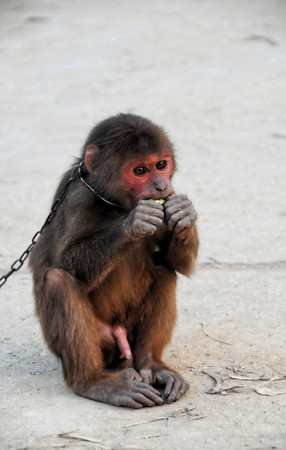 Foto de Young Brown Monkey in Chains in Vietnam - Imagen libre de derechos