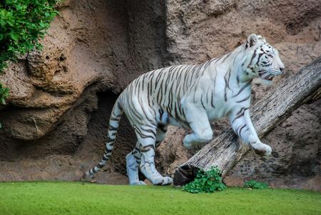 Photo pour tiger in zoo, beautiful photo digital picture - image libre de droit