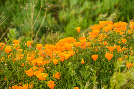 Photo pour California Poppies (Eschscholzia californica) growing on a meadow, San Jose, south San Francisco bay, California - image libre de droit