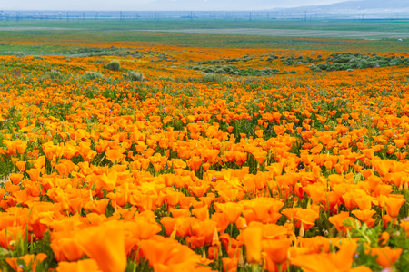 Foto de Fields of California Poppy (Eschscholzia californica) during peak blooming time, Antelope Valley California Poppy Reserve - Imagen libre de derechos