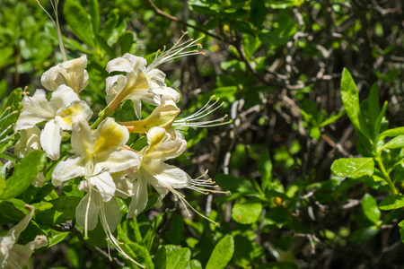 Photo pour Western Azalea (Rhododendron occidentale) flowers blooming in Yosemite National Park, California - image libre de droit