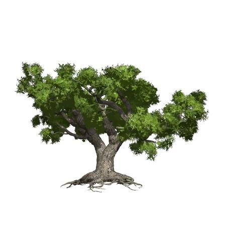 Illustration for Oak tree isolated  Vector illustration - Royalty Free Image