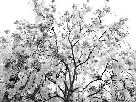 Black and white tree flower branch