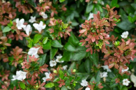 Photo for Branch of pink Abelia grandiflora flowers - Royalty Free Image