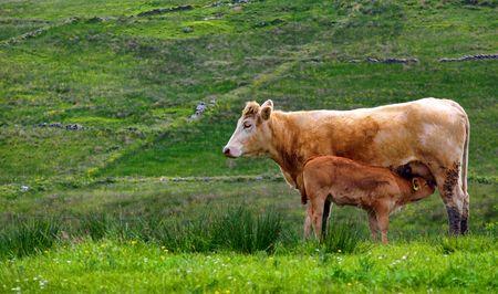 photo of calf cow feeding in a rural countryside farm