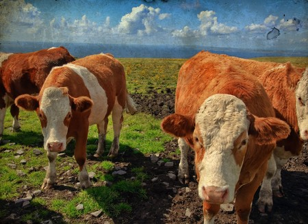 grunge vibrant stock photo of cows/bulls over looking the ocean