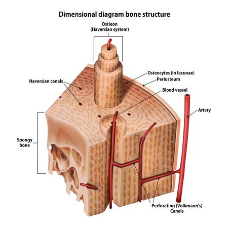 Foto per Three-dimensional diagram bone structure - Immagine Royalty Free