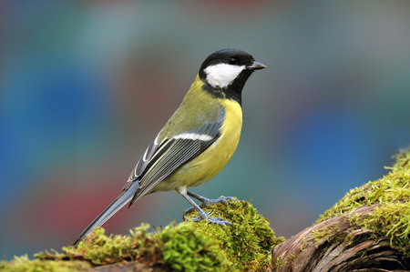 Photo pour Photo of great tit standing on a tree stump - image libre de droit