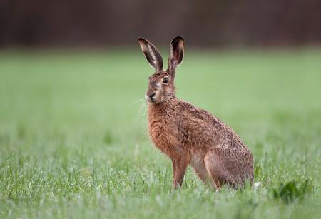 Foto de Wild brown hare with big ears sitting in a grass - Imagen libre de derechos