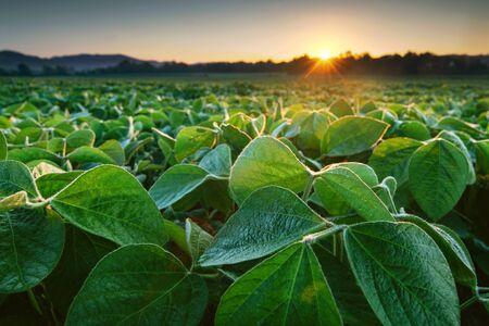 Foto de Soy field lit by early morning sun. Soy agriculture - Imagen libre de derechos