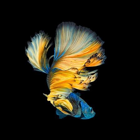 Foto de Blue Yellow Long Tail Halfmoon Betta or Siamese Fighting Fish Swimming Isolated on Black Background - Imagen libre de derechos