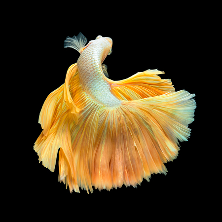 Foto de Golden Long Tail Halfmoon Betta or Siamese Fighting Fish Swimming Isolated on Black Background - Imagen libre de derechos