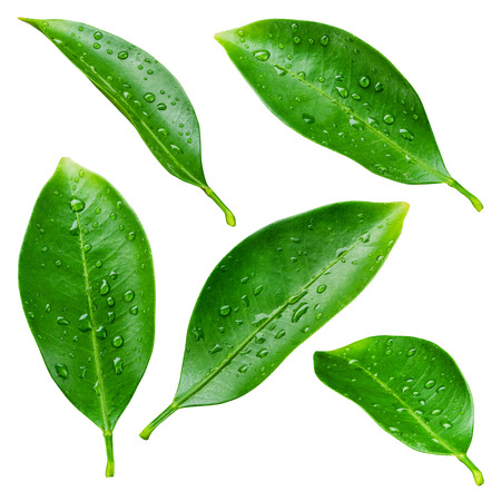 Foto de Citrus leaves with drops isolated on a white background - Imagen libre de derechos
