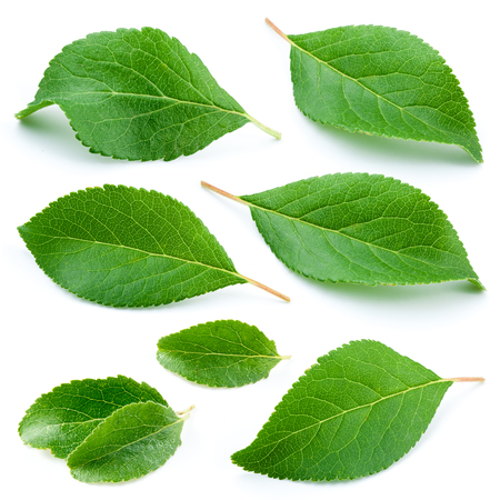 Photo pour Plum leaves isolated on white background - image libre de droit