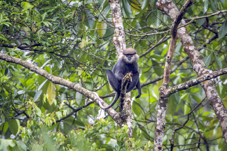 Photo for Purple-faced langur in Sinharaja forest reserve, Sri Lanka; Specie rachypithecus vetulus family of Cercopithecidae - Royalty Free Image