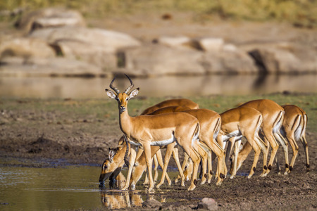 Photo for Common impala in Kruger National Park, South Africa; Specie Aepyceros melampus family of Bovidae - Royalty Free Image
