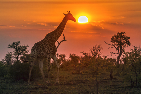 Foto de Giraffe in Kruger National Park, South Africa; Specie Giraffa camelopardalis family of Giraffidae - Imagen libre de derechos
