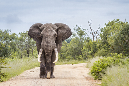 Photo pour African bush elephant in Kruger National Park, South Africa; Specie Loxodonta africana family of Elephantidae - image libre de droit