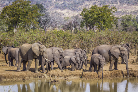 Photo pour African bush elephant in Kruger National park, South Africa ; Specie Loxodonta africana family of Elephantidae - image libre de droit