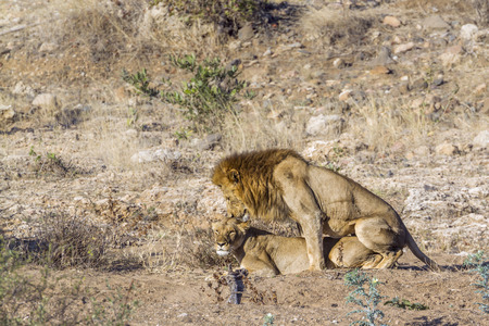 Photo pour African lion in Kruger National park, South Africa ; Specie Panthera leo family of Felidae - image libre de droit