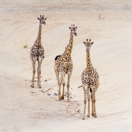 Photo pour Giraffe in Kruger National park, South Africa ; Specie Giraffa camelopardalis family of Giraffidae - image libre de droit