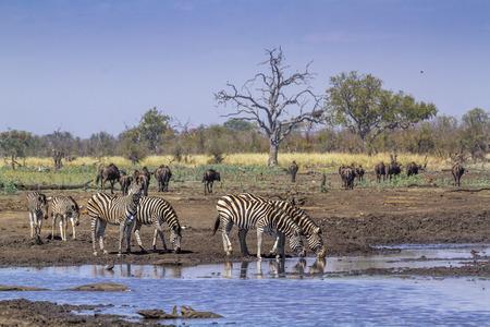 Foto de Plains zebra in Kruger National park, South Africa ; Specie Equus quagga burchellii family of Equidae - Imagen libre de derechos