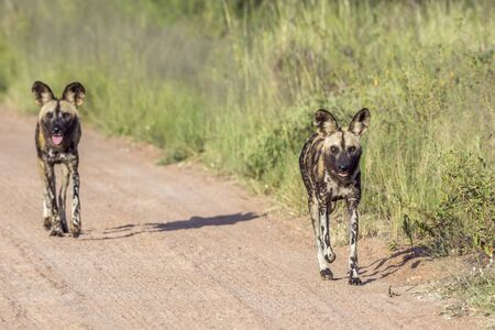 Photo pour Two African wild dog running on gravel road in Kruger National park, South Africa ; Specie Lycaon pictus family of Canidae - image libre de droit