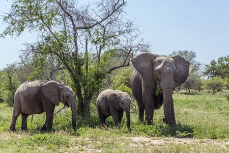 Photo pour African bush elephant mother and baby in Kruger National park, South Africa ; Specie Loxodonta africana family of Elephantidae - image libre de droit