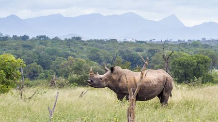 Photo pour Southern white rhinoceros in green savannah in Kruger National park, South Africa ; Specie Ceratotherium simum simum family of Rhinocerotidae - image libre de droit