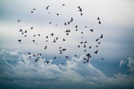Photo pour flock of birds flying in the sky against a backdrop of clouds - image libre de droit