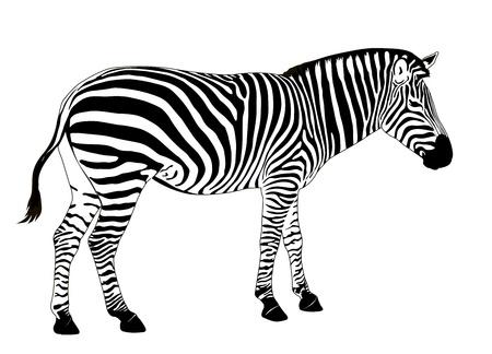 Illustration for Illustration of  zebra. Vector EPS 8 - Royalty Free Image