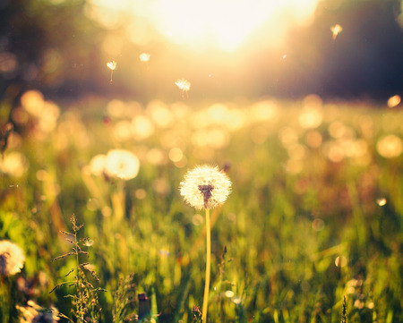 Foto de Dandelion on the meadow at sunlight background - Imagen libre de derechos